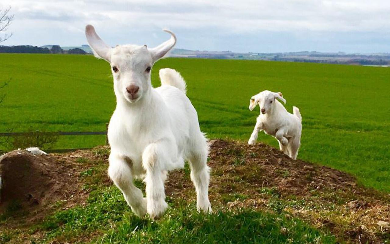 """Our kids this Spring."" Myreside Farms Produc, @MyresideFarms on Twitter."