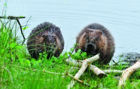 european beaver 39